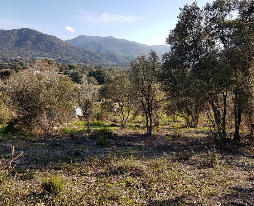 2 olivaggio II